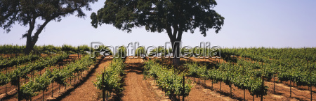 rows of mid growth grapevines in