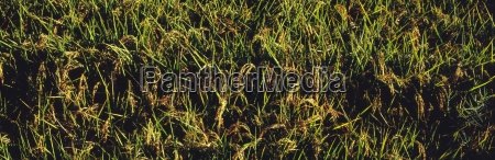 close up view of rice paddy