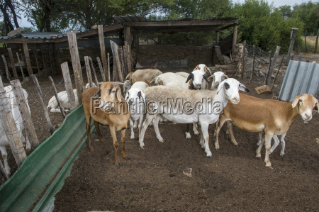 damara sheep ovis aries ghanzi botswana