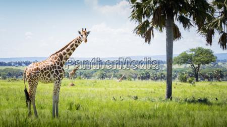 giraffe giraffa camelopardalis murchison falls national