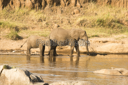 female elephant loxodonta africana and calf