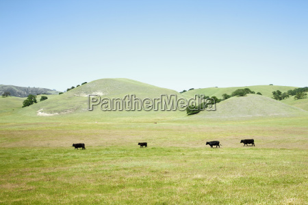 cows in a field under a