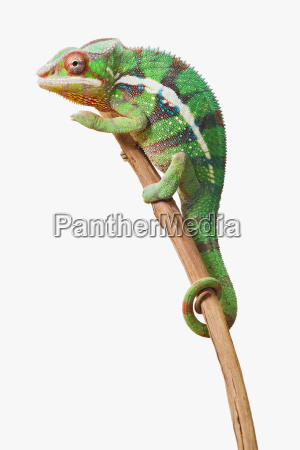 colourful panther chameleon furcifer pardalis on