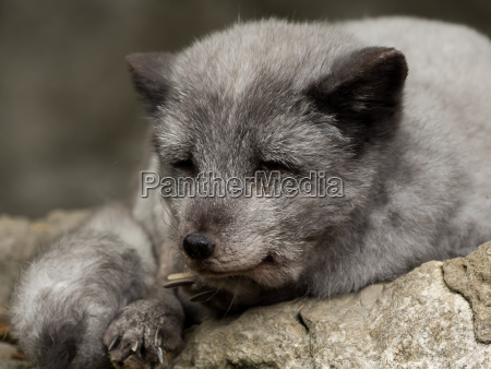 a young polar fox rests on