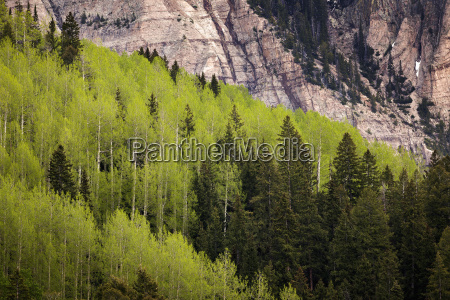 aspen grove with spruce trees in