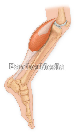 medical view of leg bones with