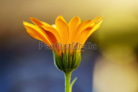 close up of yellow flower blossoming