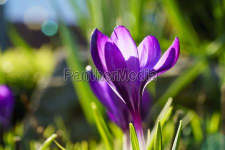a purple crocus in bloom south