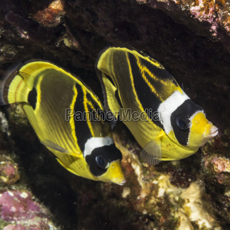 racoon butterflyfish chaetodon lunula taken underwater