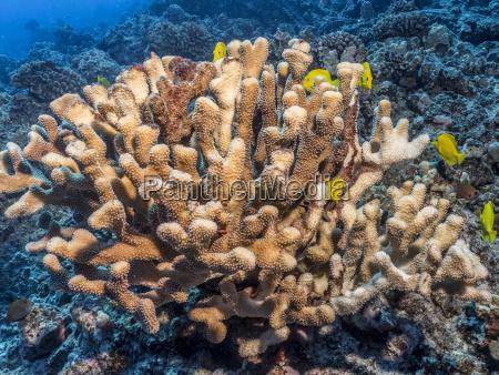 antler coral pocillopora eydouxi bleached white