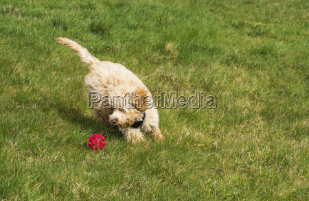 a cockapoo plays with a red