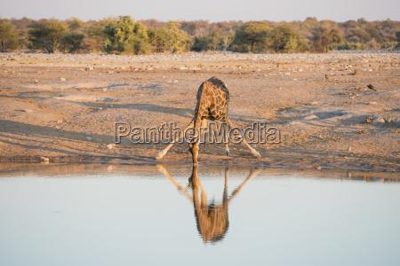 a namibian giraffe giraffa giraffa angolensis