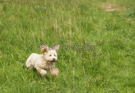 a blond cockapoo running in a