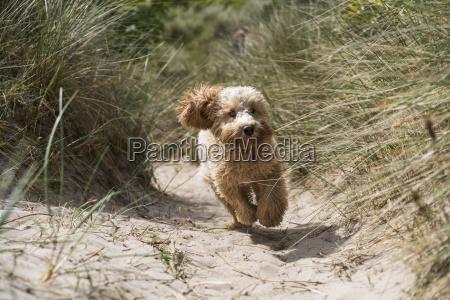 a cockapoo runs down a sand