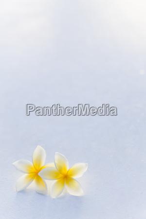 a pair of yellow plumeria flower