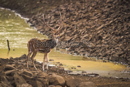 male spotted deer axis axis with