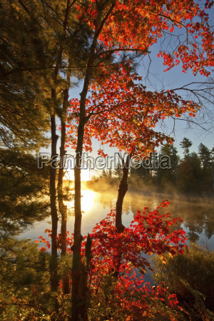 red maple and early morning mist