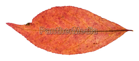 red autumn leaf of willow tree