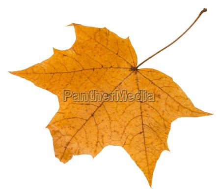 back side of autumn leaf of