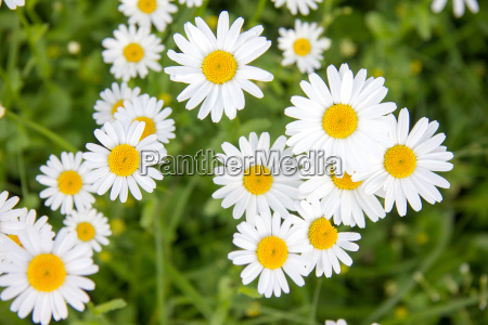 white daisies in closeup on green