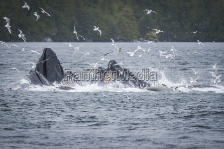 whales breaching off the coast with