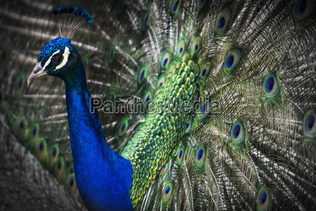 close up of a peacock displaying