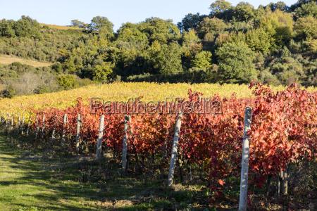 a small tuscany vineyard near montalcino