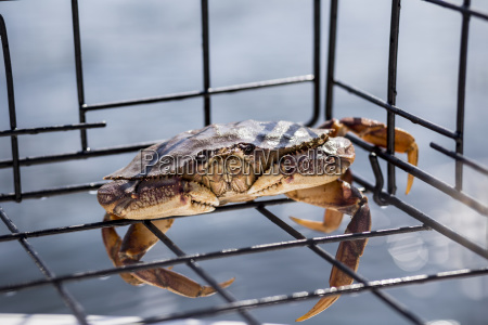 a live small dungeness crab metacarcinus