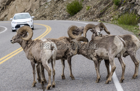 bighorn sheep ovis canadensis blocking traffic