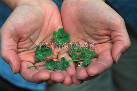 four leafed clovers in cupped hands