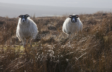 two sheep standing in a field