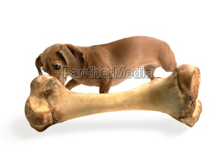 small dog with a large bone