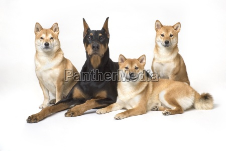 doberman pinscher and friends