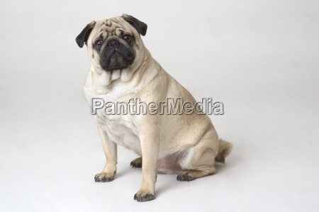 portrait of sitting pug dog