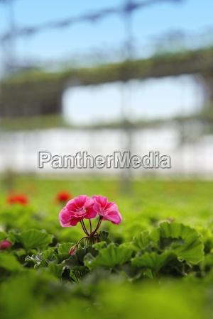 geranium growing in a plant nursery