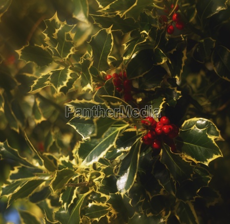 close up of holly and berries