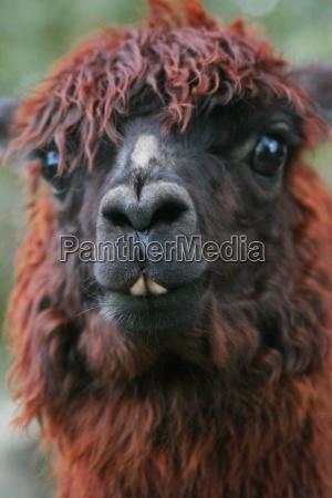 close up of llama