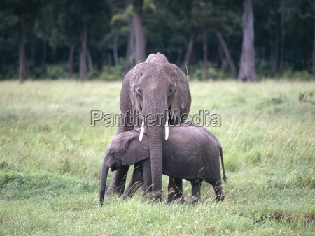 elephant cow protecting her calf masai
