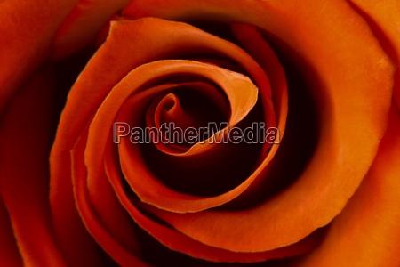 closeup of a rose
