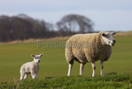 a sheep and lamb standing on