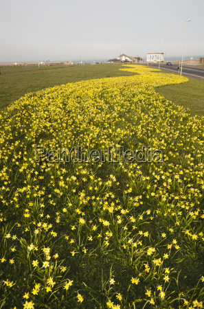 a trail of yellow flowers along