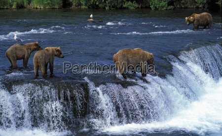 grizzly bears at brooks falls