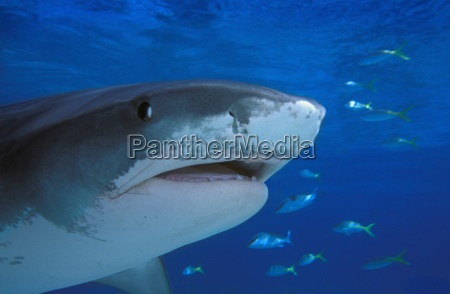 tiger shark galeocerdo cuvier swimming with