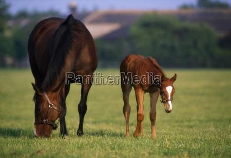 thoroughbred horses mare foal