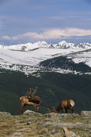 young bull elk against never summer