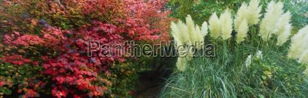 pampas grass and shrub