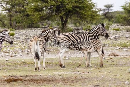 zebra female with foal