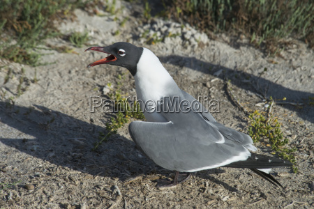 laughing gull larus atricilla rockport texas