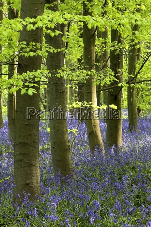 bluebells in the woods nottinghamshire england