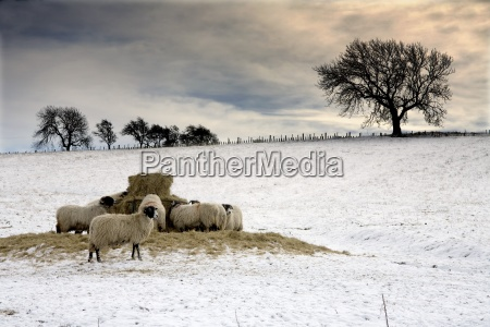 sheep in field of snow northumberland